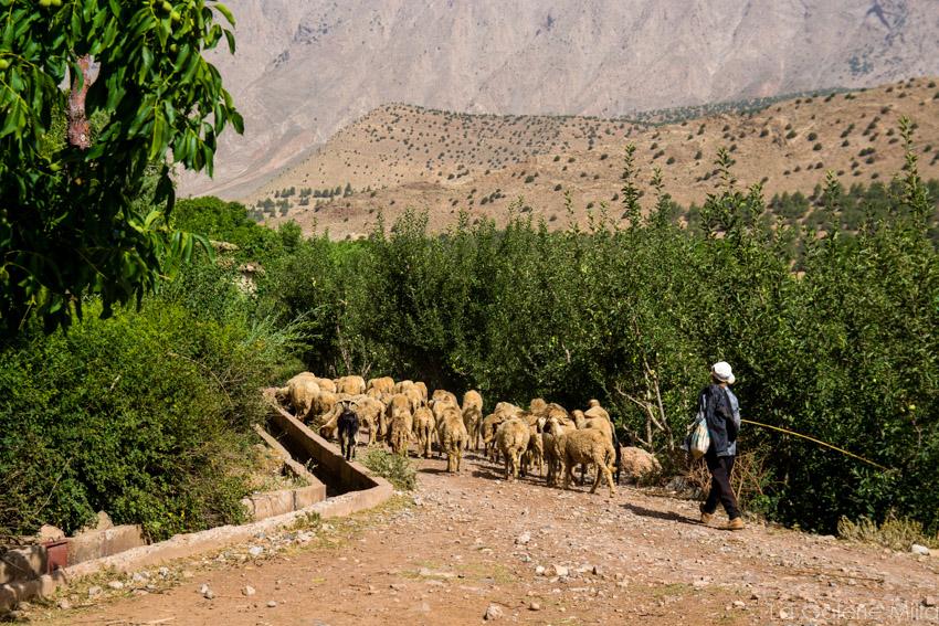 un petit paysant et son troupeau