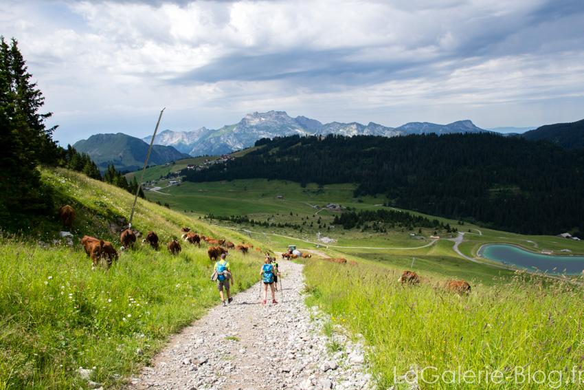 vaches du belvedere de l'étale à la clusaz