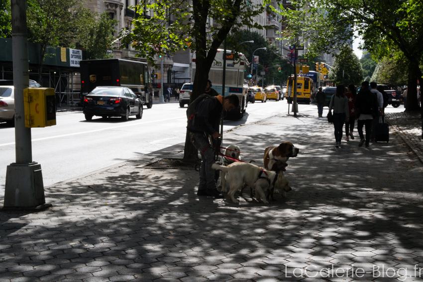 promeneur de chiens en galère a new york