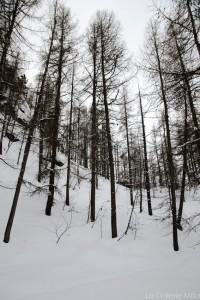 arbres dans la foret de tignes