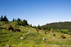 vaches dans un près à la clusaz
