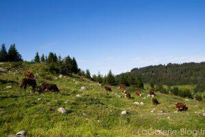 vaches du sentier de randonnée