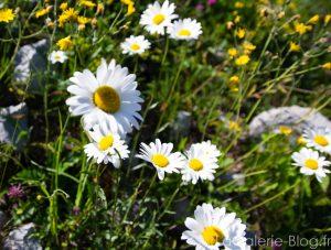 fleurs marguerutes de montagne