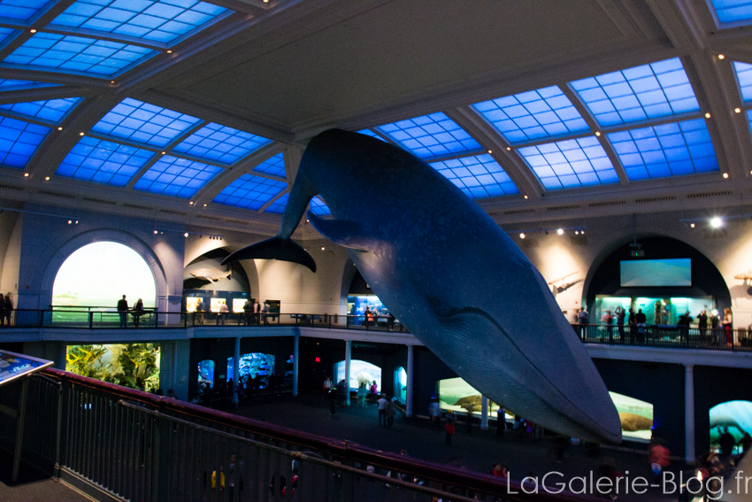 baleine suspendue au plafond du musée d'histoire naturelle
