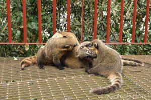 famille de coatis