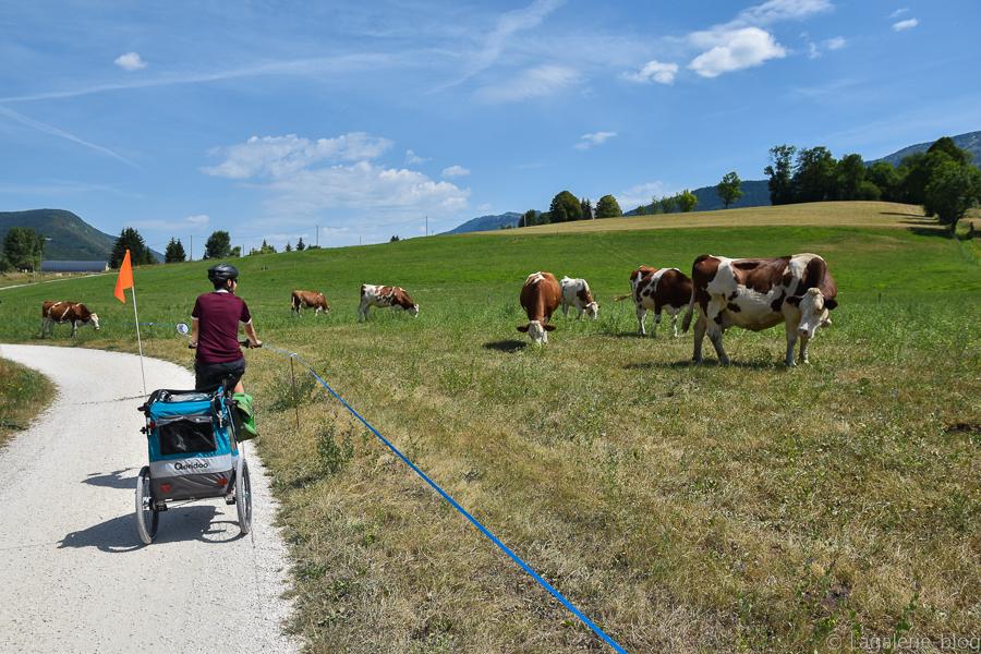 vue sur les vaches de la via vercors !
